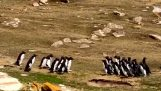 Twee groepen pinguïns ontmoeten elkaar