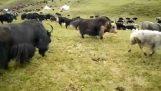 Αγελάδες σε αγώνα πάλης