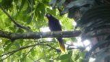 पक्षी मोंटेज़ुमा ओरोपेंडोला का विशेष गीत