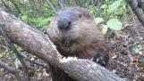 Beaver taglia un tronco con i denti