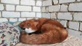 Una volpe vuole abbracci