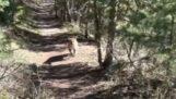 Πεζοπόρος συναντά ένα πούμα