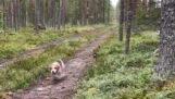 Cane contro lepre