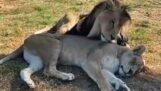 Leeuwen verliefd