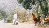 Il cane si prende gioco del gallo