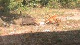 Kat aanvallen vos