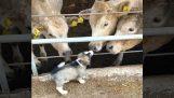 एक पिल्ला गायों जानता है