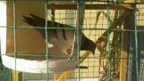 Наиболее эффективная ловушка для голубей