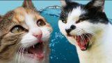 مباراة القطط. المياه