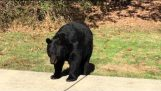 Poslušný medvěd