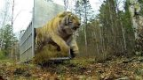 ปล่อยเสือไซบีเรียหายากอย่างไม่น่าเชื่อ