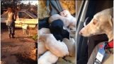 Injured dog lead strangers two miles to an abandoned car where she had given birth to 10 puppies
