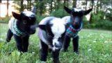 Triplet nyfødte geder i trøjer!